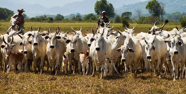 Após três anos de crescimento, número de bovinos abatidos em 2020 caiu 8,5% - Foto: Licia Rubinstein-Agência IBGE Notícias