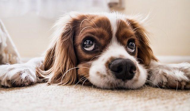 Os cães lideram o ranking de preferência dos brasileiros. Foto: Divulgação