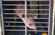 O filhote de anta, Tinoco, que vai se mudar para morar com uma companheira, no zoológico de Guarulhos, na região metropolitana de São Paulo. Foto: Divulgação