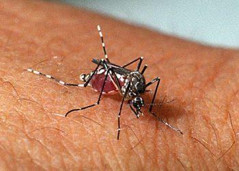 A fêmea do Aedes aegypti precisa de sangue para a produção de ovos - Foto: Instituto Oswaldo Cruz