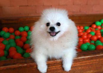 Cachorro na  Padaria Pet, em Campinas: viagem ao exterior precisa ser bem planejada, alerta influenciadora - Foto: Leandro Ferreira/Hora Campinas