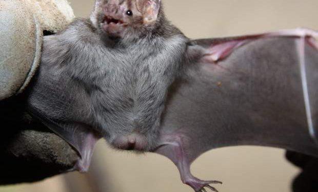 Unidade da zoonoses diz que não é complicado identificar morcegos contaminados. Até agora foram sete casos de morcegos infectados na cidade. Foto: Divulgação