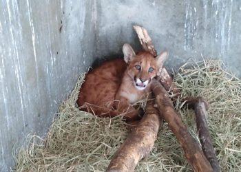 O filhote macho de onça suçuarana está bem de saúde e ganhou peso no Bosque. Foto Divulgação