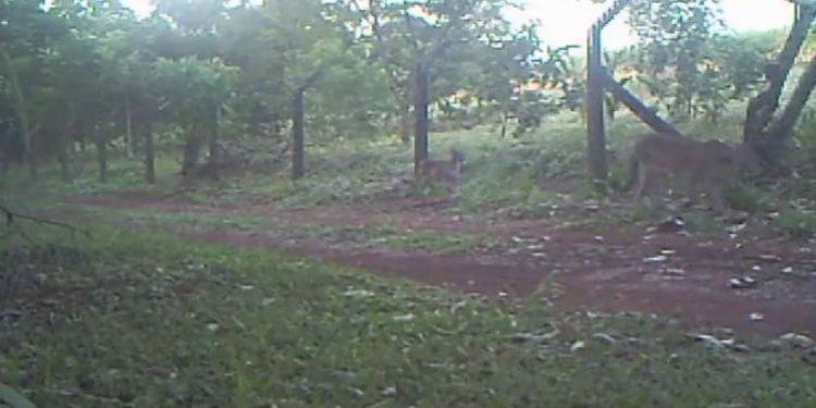 Onça parda e seu filhote caminham tranquilamente próximo à cerca na Mata Santa Genebra, em Campinas Foto: Divulgação