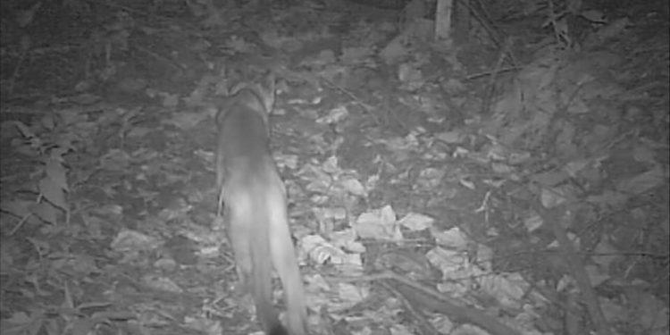 Novas imagens confirmam que há dois filhotes de onça-parda na mata. Foto: Divulgação