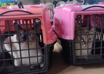 A expectativa é de castrar e microchipar mais de 500 gatos até sexta-feira (14). Foto: Divulgação \ PMC