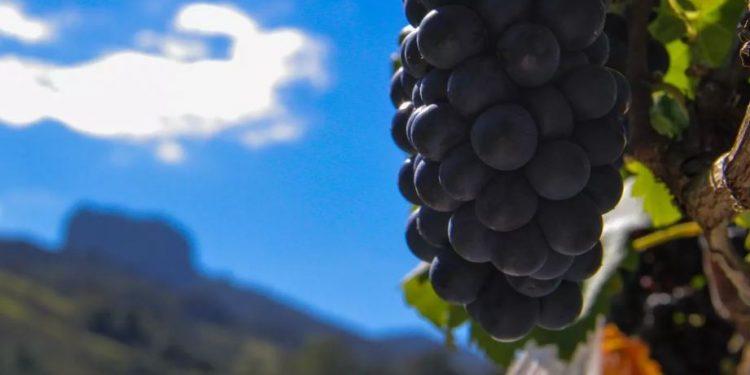 Cacho de uva com a Pedra do Baú ao fundo, imagens icônicas de uma região turística cada vez mais fortalecida, atraindo visitantes de todo País Foto: Divulgação