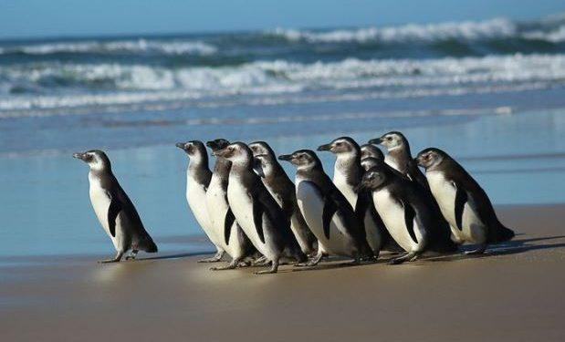 Pinguim-de-magalhães: Foto: Nilson Coelho/ Agência Petrobras