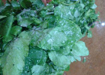 Na região do distrito de Nova Aparecida, as hortaliças amanheceram com gelo nas folhas, trazendo prejuízo aos produtores Fotos: Divulgação
