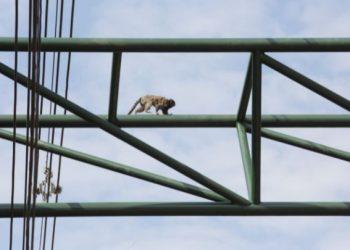 Sagui faz a travessia na passarela de fauna erguida na Estrada da Rhodia, em Barão Geraldo, em agosto último: valorização da vida animal e da biodiversidade. Foto: Leandro Ferreira/Hora Campinas