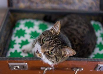 Gatos não gostam muito de viajar: tutores devem adotar medidas para reduzir o estresse - Foto: Divulgação