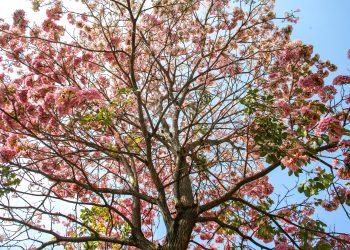 Ipês floridos roubam a cena em Vinhedo, num contraste elegante com o azul do céu: valorização da biodiversidade Foto: Eliel Rezende/PMV/Divulgação