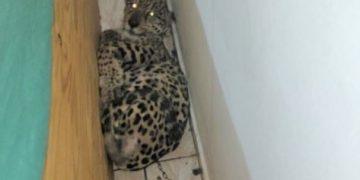 Onça-pintada estava amarrada a corrente num pequeno espaço da casa; maus tratos e péssimas condições de alimentação Fotos: Polícia Militar/Divulgação