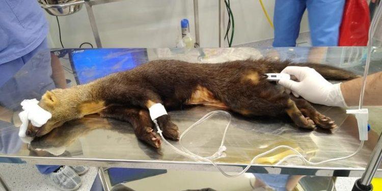 Intenção é que a terapia com células-tronco possa recuperar o animal da sequela neurológica. Foto: Divulgação