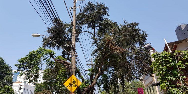 Árvore cuja poda foi feita para a passagem da linha de transmissão de energia elétrica. Foto: Leandro Ferreira
