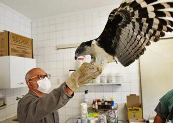 Após cirurgia e tratamento, gavião está sendo reabilitado para voltar à natureza  -Foto: Carlos Bassan/ PMC
