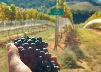 Vinhedos da Villa Santa Maria, que produzem sete variedades de uva: enoturismo em alta Foto: Divulgação