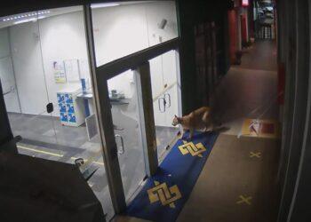 """Felino vai até a agência do Bando do Brasil (BB) e dá """"com a cara na porta"""" Foto: Câmera de segurança"""